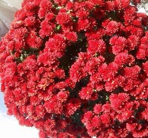 хризантема корейская Гномик
