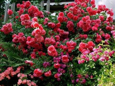 Многолетники для сада — скидки на все — Розы Сибири-128 руб