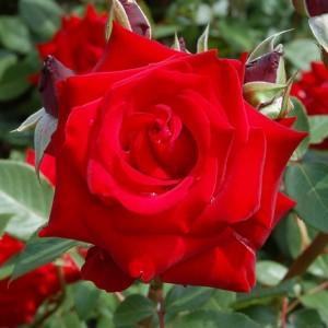 Херц Асс Высота растения 60 - 70 см, размер куста 80 х 50 см, лист средний, темно-зеленый, глянцевый.красный, устойчив к неблагоприятным погодным условиям (солнце, дождь), чашевидный, с высоким центро
