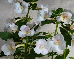 Ахименес Крупные махровые белые цветы со светло - жёлтыми или розовыми тонами, в зависимости от температуры содержания. Лепестки с текстурированной поверхностью. Побеги прямостоячие, обильное постоянн