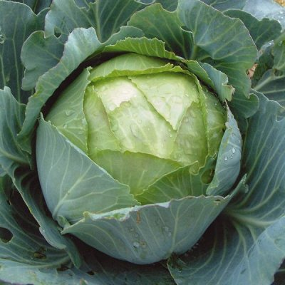 2000 видов семян для посадки! Подкормки, удобрения. — Семена Капусты от 6 р! — Семена овощей