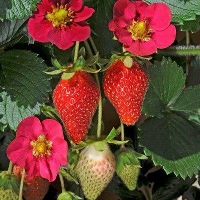 2000 видов семян для посадки!Подкормки, удобрения. — Семена ягод — Семена ягод