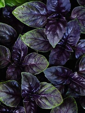 Базилик фиолетовый Пурпурный салют