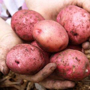 Картофель Красноклубневый