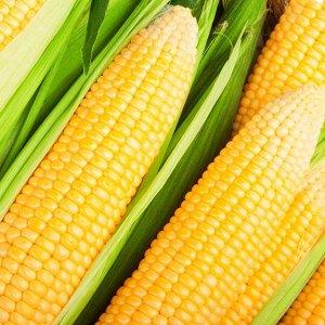 Кукуруза Лакомка Белогорья