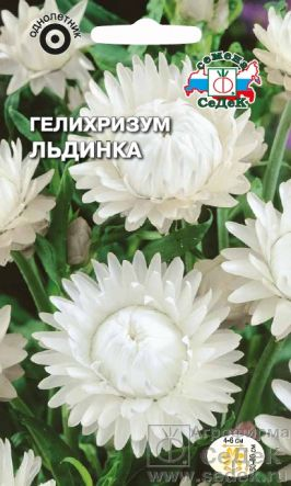 Гелихризум Льдинка