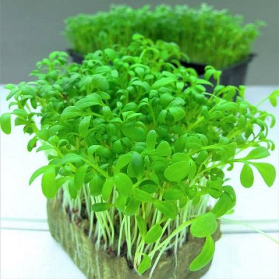 Семена от бегонии до петунии, а также семена овощей и зелени — Микрозелень — Семена овощей