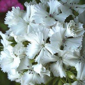 Гвоздика турецкая Белая
