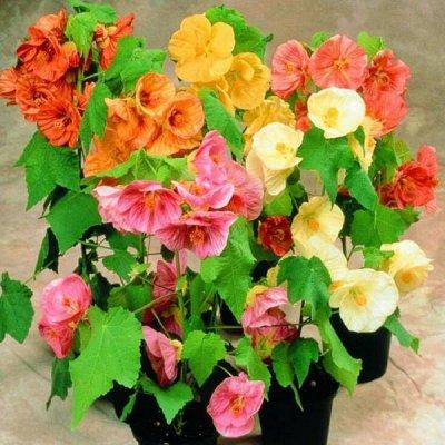 Семена от бегонии до петунии, а также семена овощей и зелени — Семена комнатных цветов и растений — Семена цветов