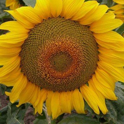 2000 видов семян для посадки! Подкормки, удобрения.   — Подсолнечник — Семена овощей