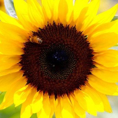 Дачный сезон! НЕ ПРОПУСТИ! Более 2000 видов семян!   — Подсолнечник — Семена овощей