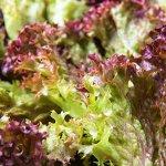 Салат Лолло Росса 0,5 г листовой, бордовый б/п с евроотв.