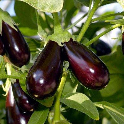 Семена от бегонии до петунии, а также семена овощей и зелени — Семена разных овощей — Семена овощей