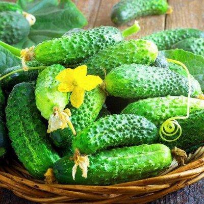Семена от бегонии до петунии, а также семена овощей и зелени — Семена огурцов — Семена овощей