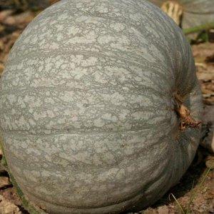 Тыква крупноплодная Лечебная ЦП