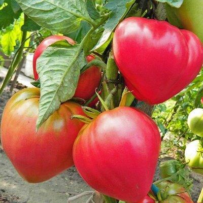2000 видов семян для посадки! Подкормки, удобрения.   — Семена Томатов — Семена овощей