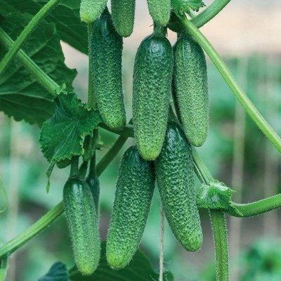 2000 видов семян для посадки! Подкормки, удобрения.   — Семена Огурцов — Семена овощей