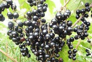 Смородина черная традиционные сорта Багира