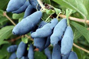 Бакчарская Плоды темно-фиолетовые, грушевидные, средней массой 0,81 г, максимально — 0,9 г, созревают одновременно. Вкус кисло-сладкий с горчинкой. Предпочитает слабощелочные или нейтральные почвы, су