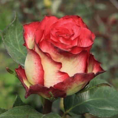 Розы Сибири — лучшие сорта! Предзаказ весна 2022 — Чайно-гибридные