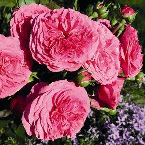 Баронесс Бутоны розы имеют «старинную» форму. Цветы некрупные (6-8 см), махровые. Цвет может менятся от ярко розового до насыщенного фуксия (с белыми вставками). Куст густой и компактный, высотой до 1