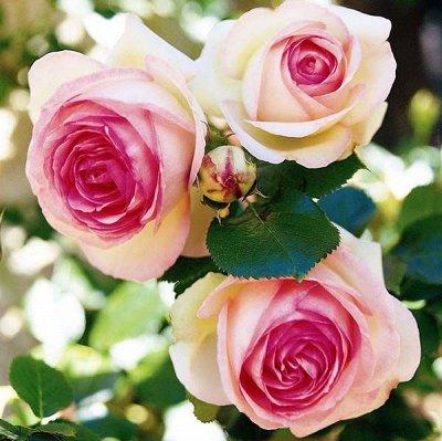 Розы Сибири !  Редкие Сорта🌹 Предзаказ Весна 2021 — Ностальгические (Старинные) Розы — Декоративноцветущие