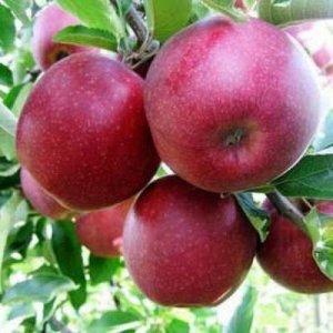 Яблоня колоновидная  NEW