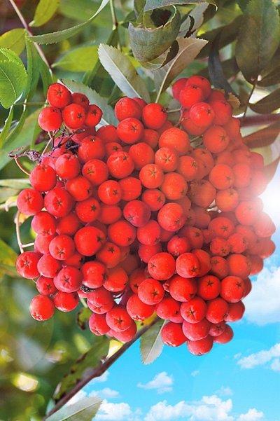 Сибирские Саженцы Плодово-Ягодные 🍏🍒 — Рябина, Облепиха, Ирга — Плодово-ягодные