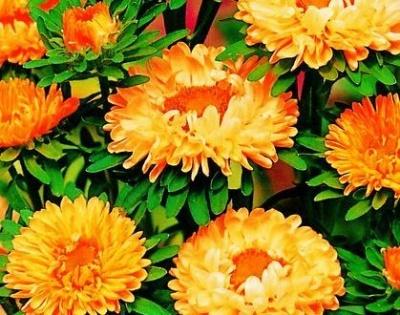 Богатый выбор семян и разные огородные нужности.(Наличие) — Цветы-1. — Семена многолетние