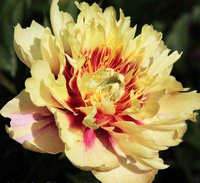 Пионы и Лилии (Голландия) на Весну* Оплата 50/50 — Пионы * ИТО-гибриды — Декоративноцветущие