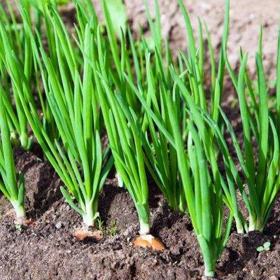 Лук Севок (Голландия)  🥔 Картофель семенной 🌱 Посадка Весной