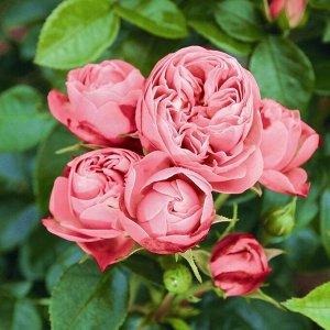 Роза Playful Rokoko