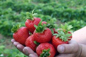 Земляника садовая Kimberly