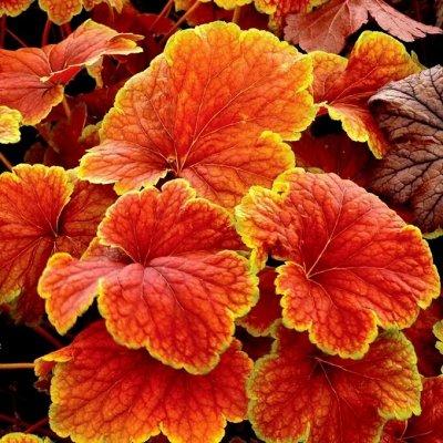 Растения! Выгодные цены! Ограниченное количество! Выбор!  — Гейхеры — Декоративнолистные