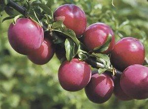 Сливово-вишневый гибрид Бетта (Код: 80047)