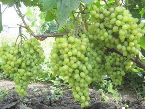Виноград Алешенькин (Код: 77249)