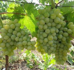Виноград Гарольд (Код: 85471)