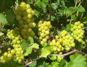 Виноград Запирири (Код: 77415)
