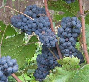 Виноград Леон Мийо (Код: 85473)