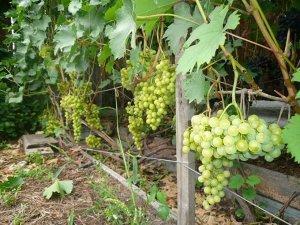 Виноград Тукай (Код: 77275)