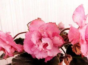 Фиалка Махровые розово - лососевые цветы с более тёмными краями – напылением.