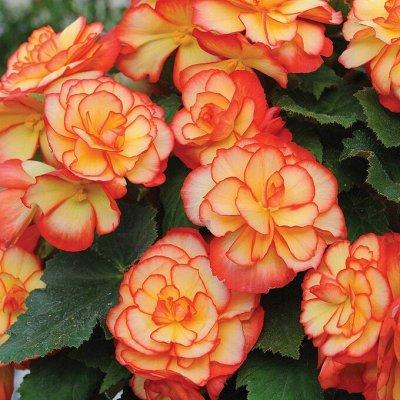 Растения! Выгодные цены! Ограниченное количество! Выбор! — Бегония — Декоративноцветущие