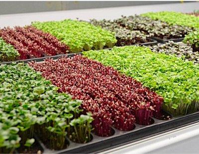 2000 видов семян для посадки!Подкормки, удобрения. — Микрозелень — Семена зелени и пряных трав