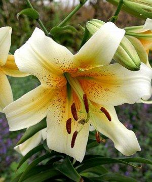 Мистер Кас ОТ-Гибрид  Луковицы Лилии ОТ-гибрид Мистер Кас (Lilium OT-hybrid Mister Cas) это классика лилейных в саду. Многолетний высокий цветок около 120 см, хорошо переносит заморозки 4 зоны морозос