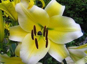 Конка д'Ор ОТ-Гибрид  Саженцы и рассада от-гибридной Лилии Конка д'Ор (Lilium) принадлежат к гибридной группе морозостойких цветов, обладающих поразительной красотой невероятно сладким и нежным аромат