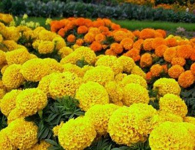 Дачный сезон! НЕ ПРОПУСТИ! Более 2000 видов семян! — Цветы однолетние — Семена однолетние