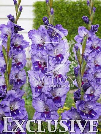 7 цветов! Шикарные пакетированные луковицы! предзаказ!  — ГЛАДИОЛУСЫ_1 — Декоративноцветущие