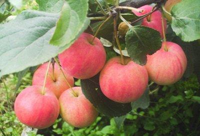 Саженцы жимолости, малины,смородины - осень №14.Есть скидка! — Яблоня полукультурка (2х летки) — Плодово-ягодные