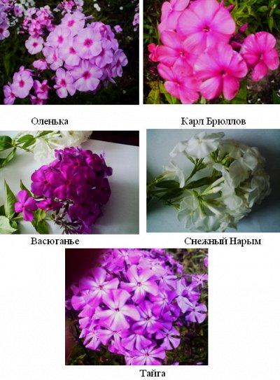 Саженцы жимолости, малины, смородины из Сибири — осень 2021 — Цветочные