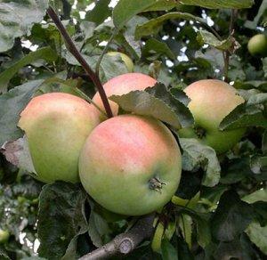Яблоня  крупноплодная  сорт Боровинка